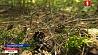 В 6 районах Минской области в эти дни запрещено посещать леса У 6 раёнах Мінскай вобласці ў гэтыя дні забаронена наведваць лясы