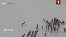 Полсотни благородных оленей поселились в Пуховичском районе Паўсотні высакародных аленяў пасяліліся ў Пухавіцкім раёне