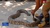 Гигантский питон напугал прихожан в Индии Гіганцкі пітон напалохаў вернікаў у Індыі
