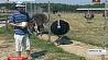 Мини-сафари под Кобрином - крупнейшая страусиная ферма в СНГ Міні-сафары пад Кобрынам - найбуйнейшая страусіная ферма ў СНД CIS' largest African ostrich farm is located near Kobrin