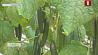 Небывалый урожай овощей собирают в теплицах на севере страны Небывалы ўраджай агародніны збіраюць у цяпліцах на поўначы краіны
