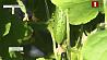 Агрономы Гомельской области уже приступили к сбору урожаю нового года Аграномы Гомельскай вобласці ўжо прыступілі да збору ўраджаю новага года