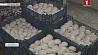 В Щучине активно развивают выращивание шампиньонов в промышленных масштабах У Шчучыне актыўна развіваюць вырошчванне шампіньёнаў у прамысловых маштабах