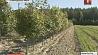 11 тысяч гектаров леса надо восстановить в Минской области 11 тысяч гектараў лесу трэба аднавіць у Мінскай вобласці