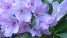 День рододендронов  в Центральном ботаническом саду Дзень рададэндранаў у Цэнтральным батанічным садзе