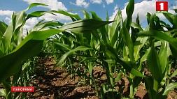 Аграрии принимают меры, чтобы минимизировать потери из-за аномально жаркой погоды  Аграрыі прымаюць меры, каб мінімізаваць страты з-за анамальна гарачага надвор'я