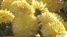 Цветы последнего солнца Кветкі апошняга сонца