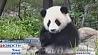 Здесь панды катаются на игрушечных лошадках Тут панды катаюцца на цацачных коніках