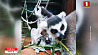 В Минском зоопарке впервые на свет появилось потомство кошачьих лемуров  У Мінскім заапарку упершыню на свет з'явілася патомства каціных лемураў