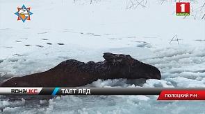 Полоцкие спасатели вытащили беременную лосиху, которая провалилась под лед на озере