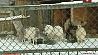 Жильцы минского зоопарка перешли на хвойную диету Жыхары мінскага заапарка перайшлі на хвойную дыету