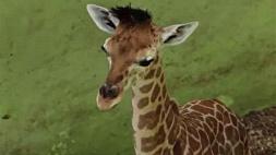Родившегося на Бали во время пандемии COVID-19 жирафа назвали Корона