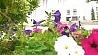 На центральных улицах Минска озеленители высадили хризантемы На цэнтральных вуліцах Мінска азеляніцелі высадзілі хрызантэмы
