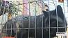 Волонтеры подарили черно-бурых лисиц Могилевскому зоосаду Валанцёры падарылі чорна-бурых лісіц Магілёўскаму заасаду