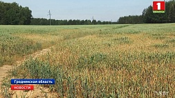 Аграрии ведут борьбу с засухой Аграрыі вядуць барацьбу з засухай