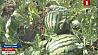 Сочный  урожай арбузов собирают фермеры Минской области