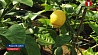 В Лиде научились выращивать экзотические фрукты У Лідзе навучыліся вырошчваць экзатычную садавіну
