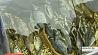 Рыбные хозяйства Минской области с хорошим уловом Рыбныя гаспадаркі Мінскай вобласці з добрым уловам Minsk region fisheries catch nearly 4,000 tonnes of fish this autumn
