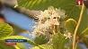 В Гомельской области цветут каштаны и распускаются первоцветы  У Гомельскай вобласці цвітуць каштаны і распускаюцца першацветы