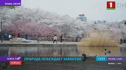 В парках начался живописный сезон цветения сакуры. На улицах Пекина снова гуляют люди У парках пачаўся маляўнічы сезон цвіцення сакуры. На вуліцах Пекіна зноў гуляюць людзі