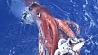 Гигантский кальмар попался в сети  японских рыбаков Гіганцкі кальмар патрапіў у сеткі  японскіх рыбакоў
