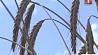Выращенного урожая зерна хватит и для экспортных поставок Вырашчанага ўраджаю збожжа хопіць і для экспартных паставак Grain harvest is enough for both domestic consumption and exports