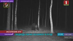 В Беловежскую пущу вернулся медведь