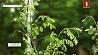 Жители Бреста выступают с предложением превратить город в цветущий сад Жыхары Брэста выступаюць з прапановай ператварыць горад у квітнеючы сад