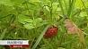 Время запасаться лекарственными растениями на зиму Час запасаць лекавыя расліны на зіму