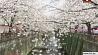 В Японии - сезон цветения сакуры У Японіі - сезон красавання сакуры