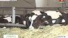 В Могилевском облсельхозпроде разработали новые подходы к производству говядины У Магілёўскім аблсельгасхарчы распрацавалі новыя падыходы да вытворчасці ялавічыны