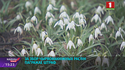 За сбор краснокнижных растений грозит штраф За збор чырванакніжных раслін пагражае штраф