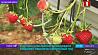 В Щучинском районе создали уникальное предприятие по выращиванию садовой земляники