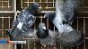 В Бельгии за 310 тысяч евро продан голубь У Бельгіі за 310 тысяч еўра прададзены голуб