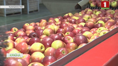 В Витебской области заготавливают картофель и яблоки