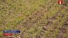 Сельхозорганизации Беларуси приближаются к финишу сева ранних яровых и зернобобовых культур Сельгасарганізацыі Беларусі набліжаюцца да фінішу сяўбы ранняй ярыны і зернебабовых культур