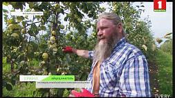155 тысяч тонн яблок планируют собрать в Беларуси 155 тысячаў тон яблыкаў плануюць сабраць у Беларусі