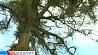 В XXI веке, чтобы срезать аварийное дерево, нужно пройти не одну инстанцию У XXI стагоддзі, каб зрэзаць аварыйнае дрэва, трэба прайсці не адну інстанцыю