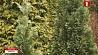 В столице высадят более  50 тысяч деревьев У сталіцы высадзяць больш за 50 тысяч дрэў
