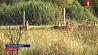 Гомельская область становится краем благородных оленей Гомельская вобласць становіцца краем высакародных аленяў