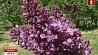 Неделя сирени в Минском ботаническом саду - на 7 дней раньше Тыдзень бэзу у Мінскім батанічным садзе - на 7 дзён раней