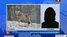 В Брагинском районе на мужчину напал волк  У Брагінскім раёне на мужчыну напаў воўк