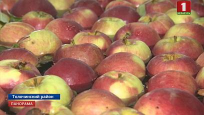 Как собирают и хранят новый урожай яблок в Витебской области