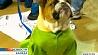 В Канаде прошел конкурс на звание лучшего бульдога страны У Канадзе прайшоў конкурс на званне лепшага бульдога краіны