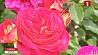Симфония роз - в выходные в минском Ботаническом саду Сімфонія руж - у выхадныя ў мінскім Батанічным садзе