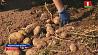 Аграрии Минской области приступили к уборке картофеля Аграрыі Мінскай вобласці пачалі ўборку бульбы