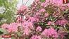 Центральный ботанический сад планирует выращивать голубику Цэнтральны батанічны сад плануе вырошчваць буякі