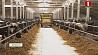 """В СПК """"Первомайский"""" на новой молочно-товарной ферме планируют получить более 30 тонн молока в сутки У СВК """"Першамайскі"""" на новай малочна-таварнай ферме плануюць атрымаць больш за 30 тон малака за суткі"""