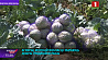 Аграрии Минской области заготавливают сезонные фрукты и овощи
