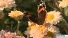 Хризантемы  в осеннем Ботаническом саду Хрызантэмы ў восеньскім Батанічным садзе